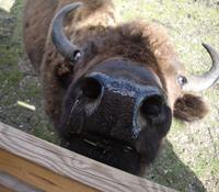 Buffalo Ranch 2009